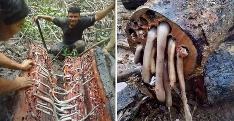 他劈開木頭後發現這些「噁心的不明白色物體」,他「咬了一口」後把剩下的拿去賣竟然就發大財了!
