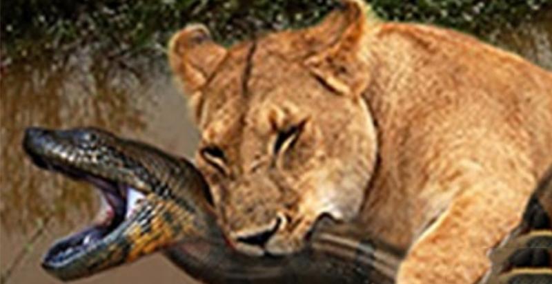 獅子為了獵食超級巨蟒反而被緊咬住頭部!沒想到「最後劇情」竟然大反轉,過程真的太精彩!