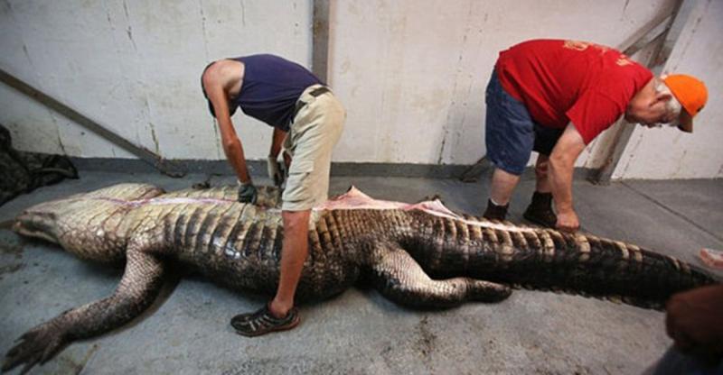 他們一家人花了10個小時,終於抓到這條「肚子超大」的肥鱷魚!頗開後肚子裡的「東西」讓他們一家人慶幸自己竟然還活著...