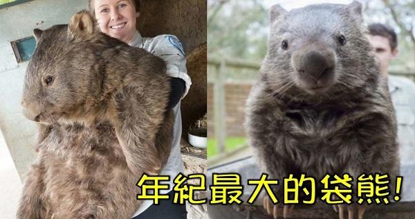 超可愛!你確定抱的不是巨型松鼠?現存世上年紀最大、最可愛的袋熊!猜猜牠幾歲了?