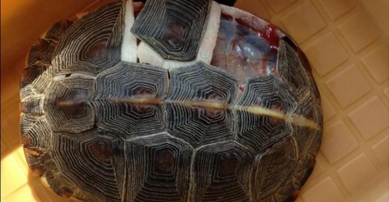 科學家解剖烏龜,手術刀切開「它的內部」構造讓科學家都震撼了啊!
