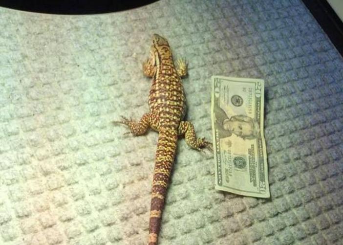 他從寵物店帶回來這隻小蜥蜴,沒想到過幾年卻變成「身長100公分的大猛獸」!簡直驚呆了主人