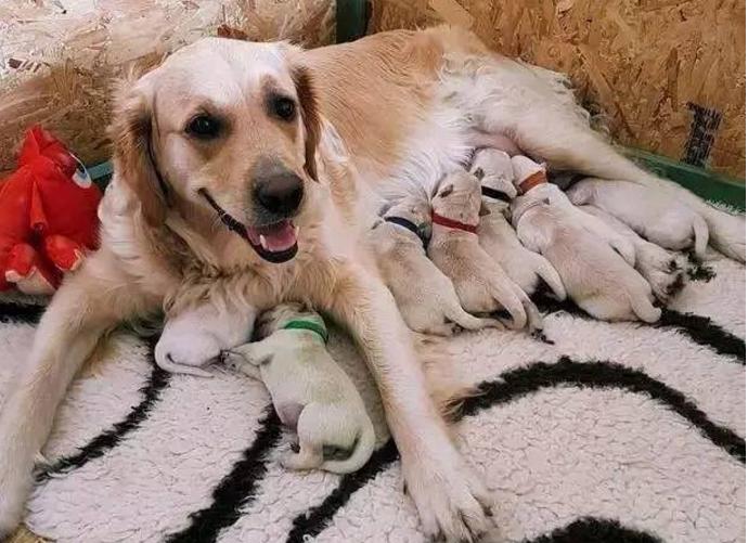 金毛生了9隻小狗,其中一隻居然是綠色的!主人取名叫「森林」