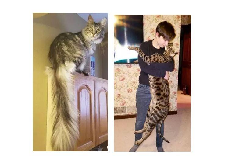 一家人養出兩隻打破了吉尼斯世界紀錄的喵,一隻靠尾巴,一隻靠身高