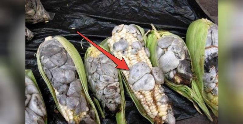 他到田裡採收作物卻發現「玉米長滿噁心膿包」,正當他要拿去丟掉時,朋友卻說「不要丟!快給我!」