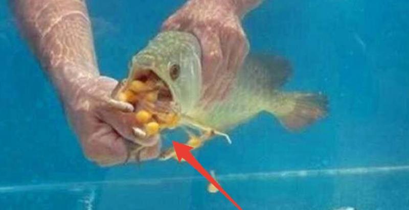 超昂貴「金龍魚」一直不吃不喝,主人只好掰開嘴巴強行餵食,卻吐出許多「金黃色小球」…賺翻拉