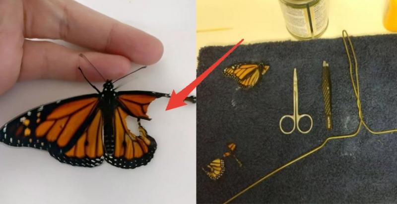 這個女孩異想天開,用裁縫工具幫失去翅膀的蝴蝶開刀,讓牠能再度飛上天,手術完的效果讓網友嚇傻