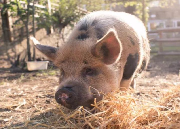 本來只是買了兩隻迷你寵物豬,這個住在倫敦的女人後來的畫風,卻完全被改變了...