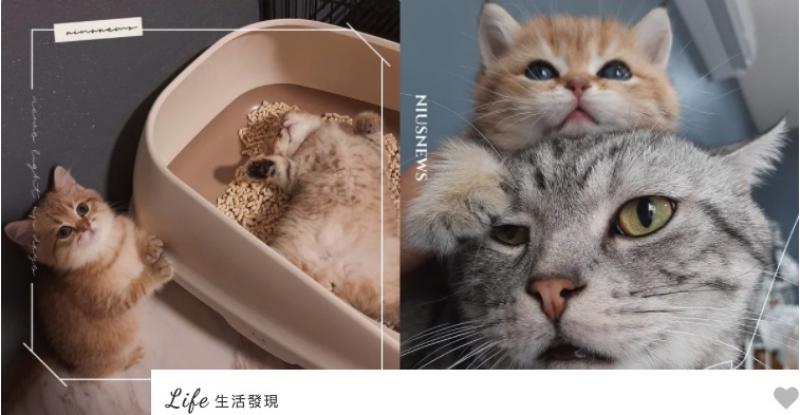 可以不要睡在猫砂盆吗?泰国爆红小橘猫超萌贪睡,无辜大眼:人家快尿出来惹